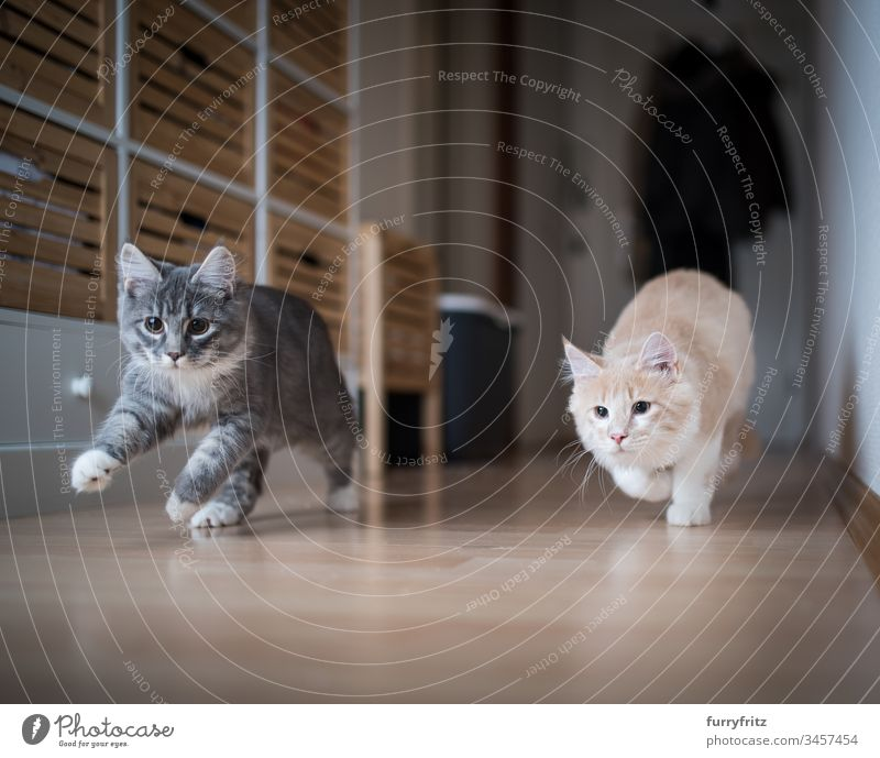 two playful Maine Coon kittens running through the hall no people white color Two animals activity Energy vitality enjoyment chasing swift Speed Movement