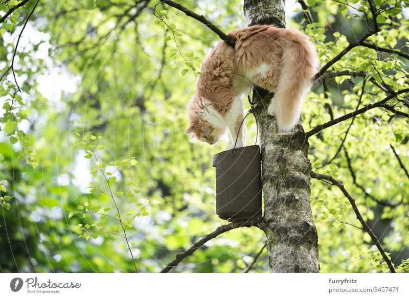 Maine Coon cat climbs a tree to get to a birdhouse Cat Cute Beautiful Kitten Fluffy Pelt young cat bokeh Outdoors selective focus Summer Nature Watchfulness