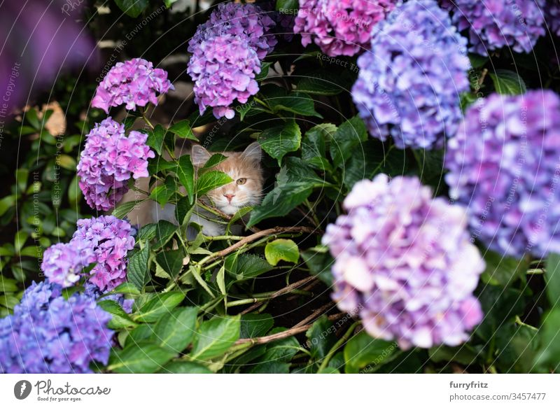 Maine Coon cat hiding in a flowering hydrangea Nature Botany plants Hydrangea Purple Front or backyard Garden Natural stone wall leaves Flower Blossom Blue