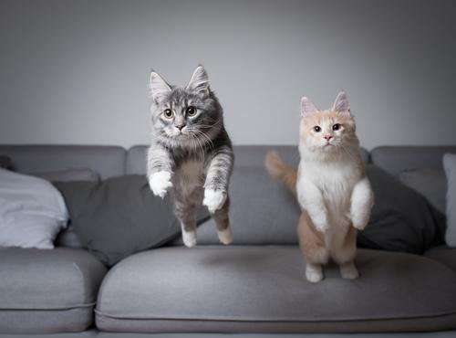 Two young Maine Coon cats jump off a sofa at the same time jumping kitten Movement Air blue blotched catching chasing Couch Cream Tabby Cushion Cute To fall