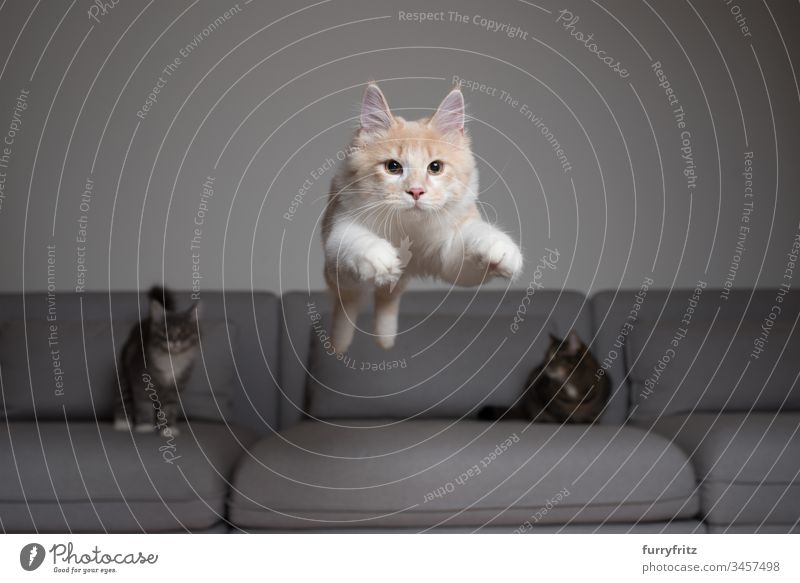 Maine Coon cat jumps over the sofa, two other cats watch Kitten Domestic cat jumping Air Couch catching Cream Tabby chasing Cushion Cute To fall swift feline