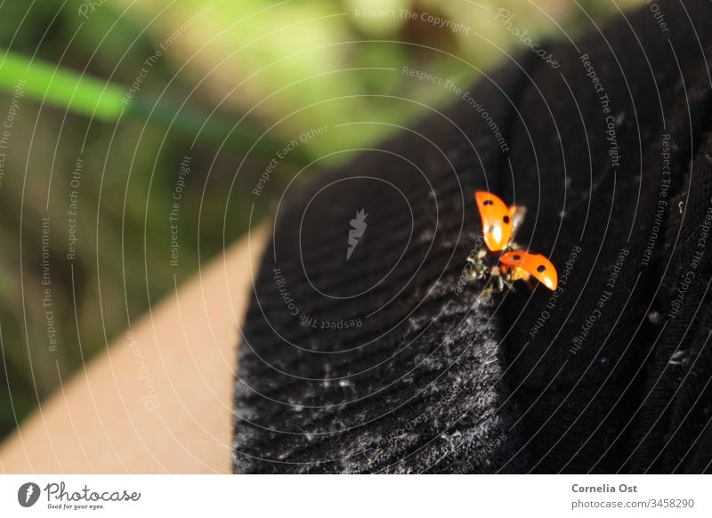 Ladybird shortly before takeoff Beetle Red Animal Insect Point Nature Crawl Colour photo Exterior shot Spotted Small