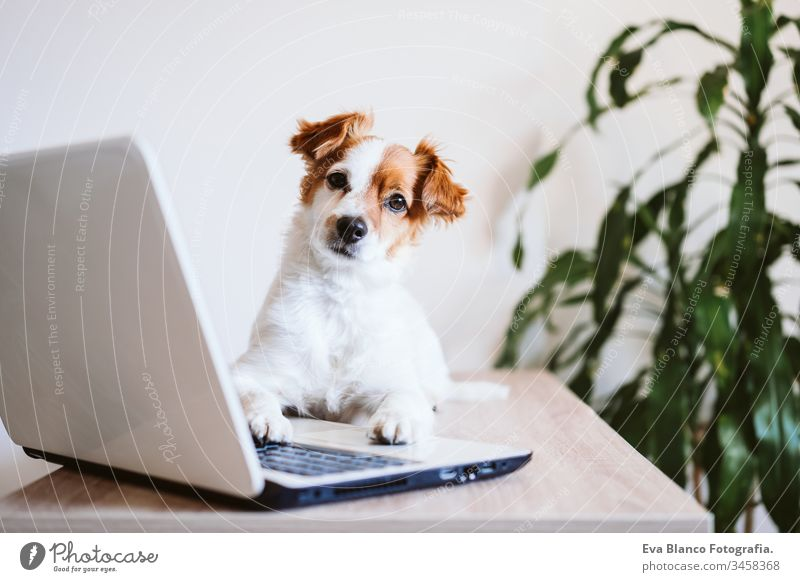 v dog working at home laptop technology jack russell cute office indoors pet computer screen website study typing keyboard paw tablet pretty instructing smart