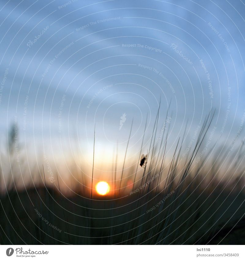 sinking sun blue sky silhouette of a fly sitting on an ear of corn Summer evening Fly fly silhouette Corn ear Sunset Fireball blue sky with clouds Deserted