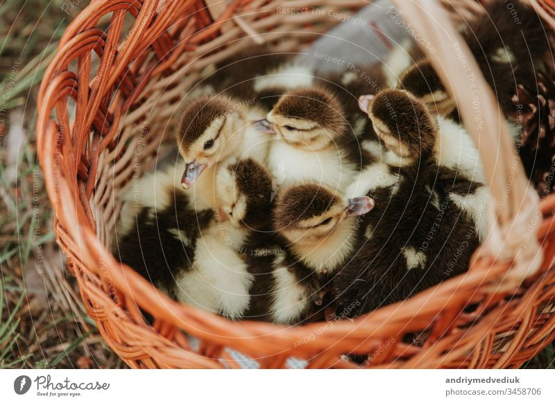 Group of ducklings overlap on basket with straw, newborn duck with black and yellow feather ready for sell. small duck in the basket. ducks bird animal cute