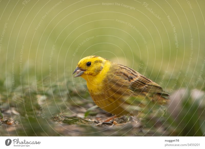 Yellowhammer foraging in the grass Bird Grass Animal songbird Nature Exterior shot Colour photo Day Animal portrait Songbirds Wild animal Deserted