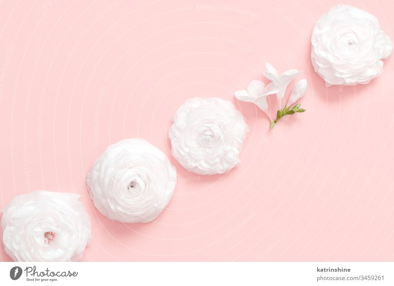 Cream ranunculus flowers on a light pink  background cream spring different individual diversity change romantic pastel flat lay composition roses top view