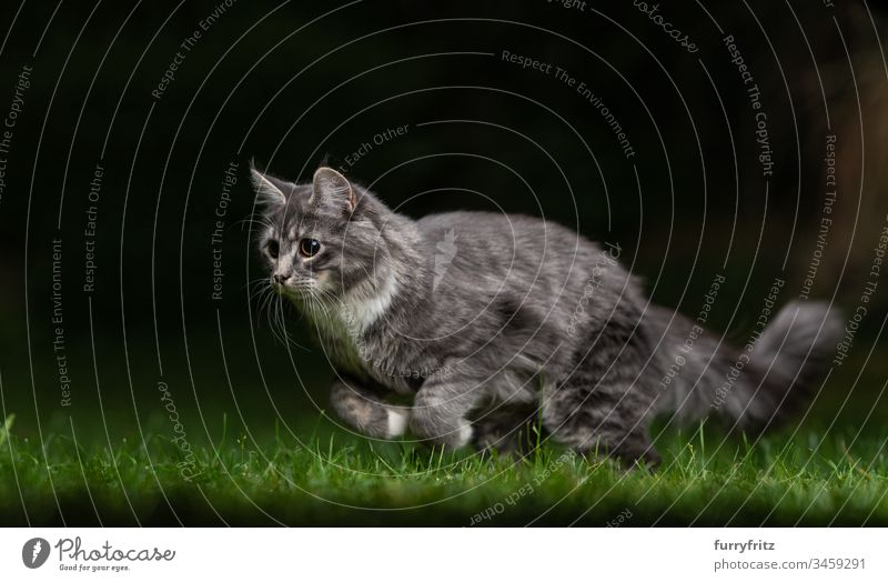 Playful Maine Coon cat hunting at night in the garden no people vitality White animal behavior Watchfulness enjoyment focused Hunting chasing Movement Playing