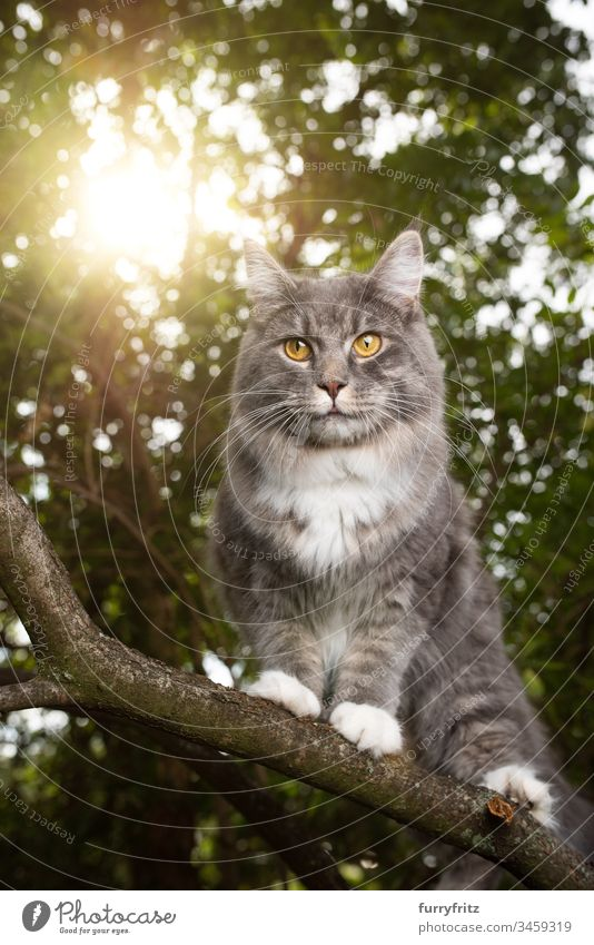Maine Coon cat climbing on the branch of a tree in the sunlight Cat Cute Enchanting feline Fluffy Pelt purebred cat pets Longhaired cat Kitten blue blotched