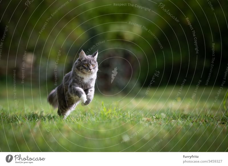 Maine Coon cat running across a meadow in nature no people white color Adventure Watchfulness Curiosity Energy enjoyment Investigation Hunting chasing swift