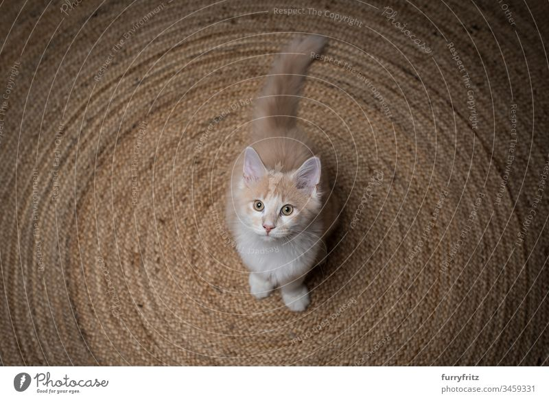 young Maine Coon cat stands on a sisal carpet and looks up 2-5 months Enchanting Watchfulness Beautiful Begging - Animal behaviour Carpet Circular Cream Tabby