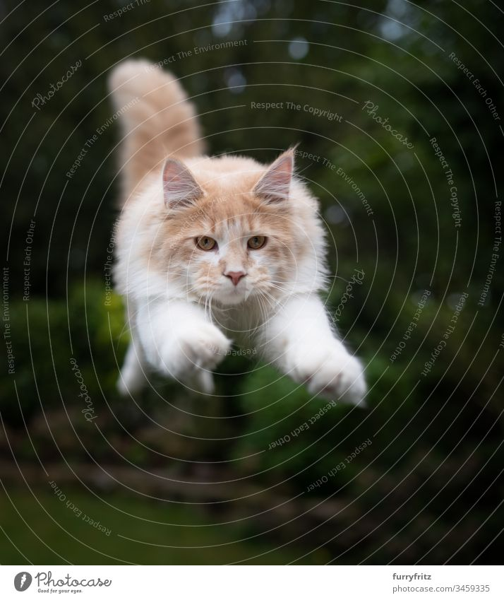 Maine Coon cat flies in the air Cat Pelt Kitten Fluffy feline purebred cat Longhaired cat young cat Cream Tabby Beige Fawn White jumping Air swift Speed
