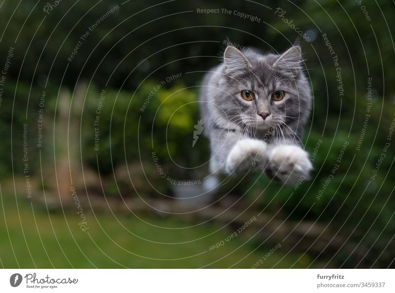 Maine Coon cat jumps in the garden Cat Pelt Kitten Fluffy feline purebred cat Longhaired cat young cat White blue blotched jumping Air swift Speed Floating