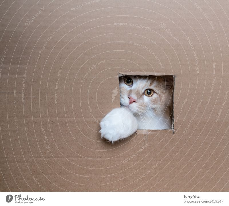 playful cat looks out the window of a box purebred cat Longhaired cat Maine Coon Kitten kitten feline Fluffy Pelt Whisker young cat 2-5 months Cream Tabby Beige