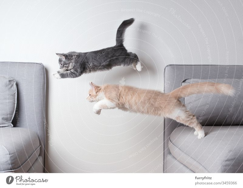 Two Maine Coon cats jump over the sofa at the same time Kitten jumping Two animals Couch Air blue blotched catching chasing Copy Space Cream Tabby Cushion Cute