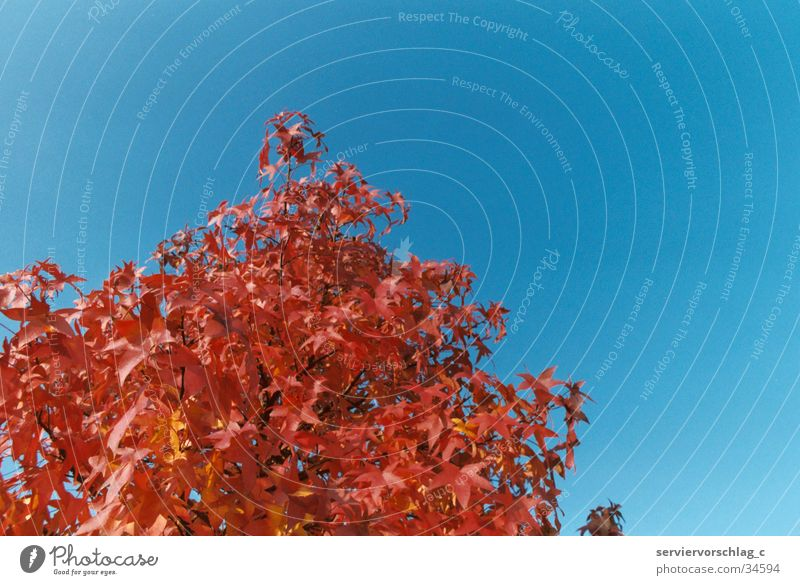 Red tree Tree Calm Autumn American Sycamore Sky Blue Graffiti