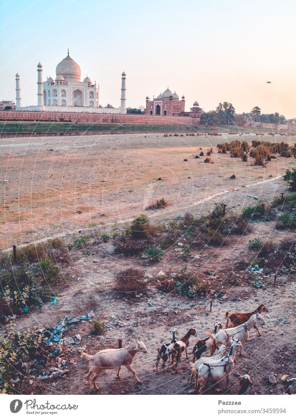 Goats at the Taj Mahal India Agra Hinduism Herd Long distance travel Travel photography Tourist Attraction Tourism Mausoleum Poverty