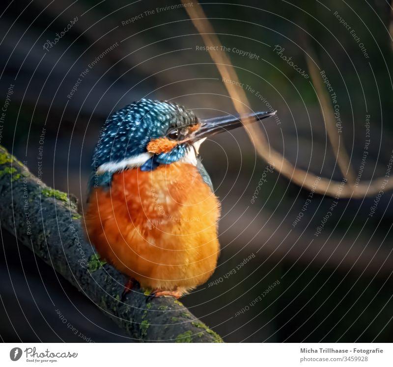Kingfisher looks around kingfisher Alcedo atthis Bird Wild animal Nature Sunlight Animal Head Beak Eyes Grand piano feathers plumage luminescent rays Lakeside