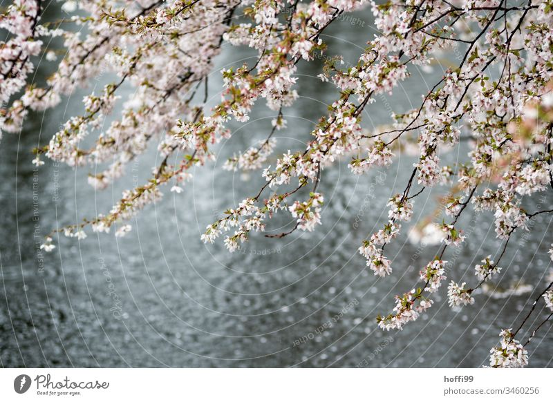 Spring blossoms when it rains in the park Spring fever Tree Blossom Pond Plant Nature Natural Wet Bright Fresh Beginning Drops of water Water Glittering