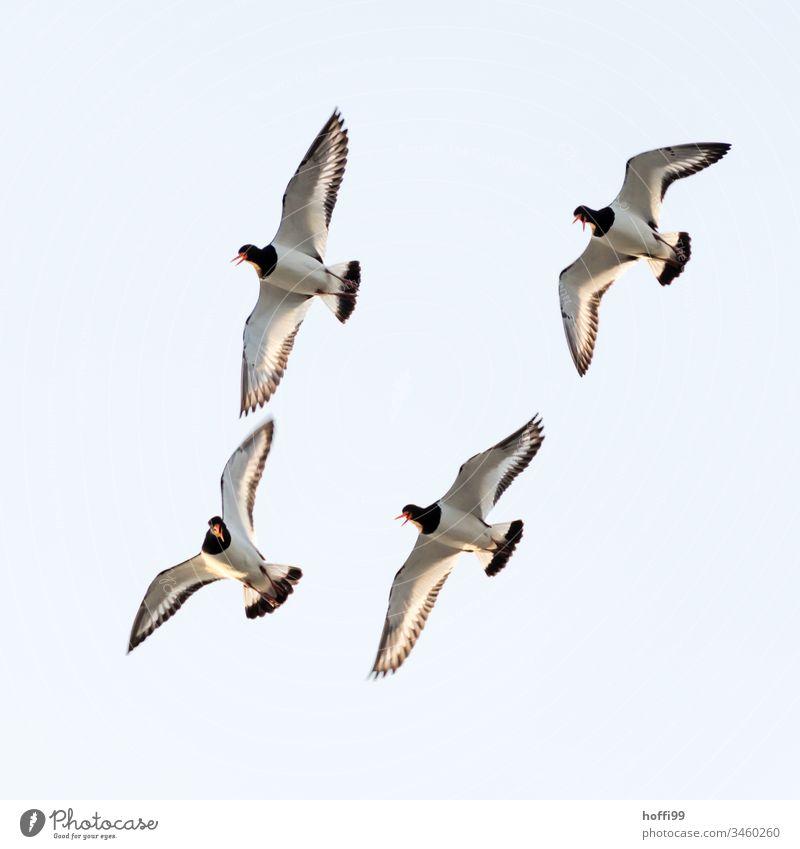 four oystercatchers in free flight Hoffi99 Schillig Minimalistic Nature North Sea Oyster catcher Animal portrait Scream Flying Maritime Fresh Coast Sky