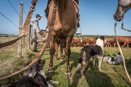 The young man leans against the fence of the paddock, horses, dogs and cattle are waiting with him. Young man cows Farm animals Zsun Grass Sky Summer