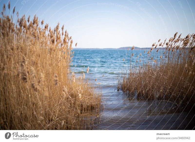 Reed in detail Lake Water reed Common Reed grasses Spring Relaxation open pit mining flooded lignite mining Body of water Swimming lake Landscape Nature