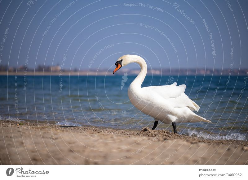 Swan on the beach Water Bird Feather Lake Animal White Exterior shot Neck Beautiful Elegant Pond Waves Nature Body of water Sandy beach