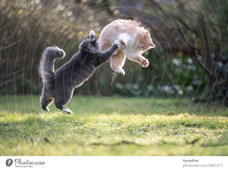two playful Maine Coon cats fight and jump in the garden Cat feline Fluffy Pelt Cream Tabby Fawn Beige blue blotched White purebred cat pets Longhaired cat