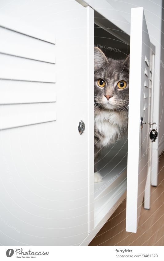 Cat hiding in a white closet pets purebred cat feline Pelt Fluffy Longhaired cat Maine Coon blue blotched White indoors Cute Enchanting Beautiful One animal