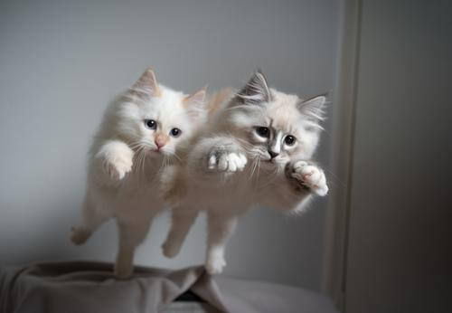 Two playful siberian longhair kittens jump off the sofa at the same time Cat no people Cute Kitten feline Fluffy Pelt pets purebred cat Longhaired cat indoors