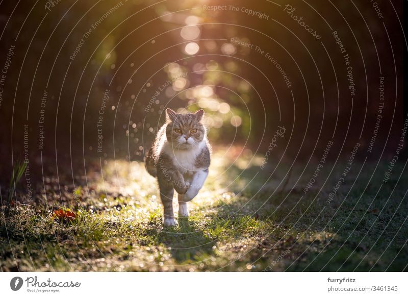 Cat running in the sunlight in nature pets purebred cat One animal British Shorthair White tabby Outdoors Nature Botany Garden Front or backyard Lawn Meadow