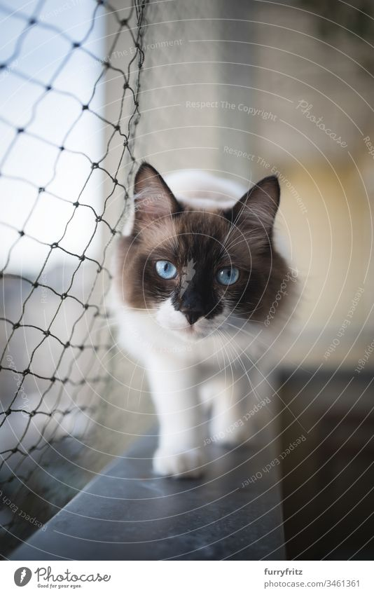 Sacred Birman or Ragdoll cat running on the balcony with cat protection net Cat look into the camera Cat net Balcony Watchfulness animal eye Beauty & Beauty