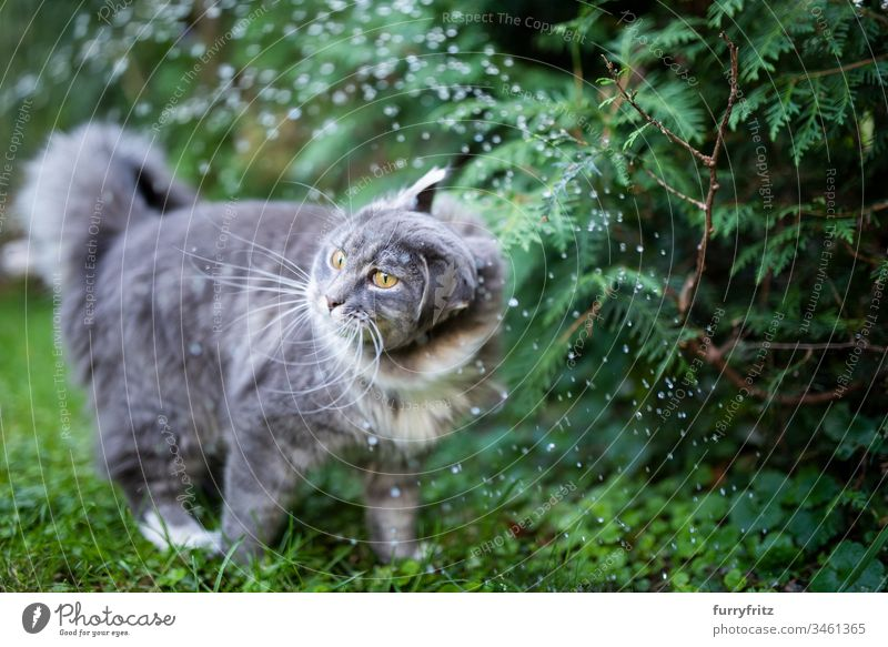 Maine Coon cat stands in the rain and shakes Cat Cute Enchanting Beautiful feline Fluffy Pelt purebred cat pets Longhaired cat White blue blotched One animal