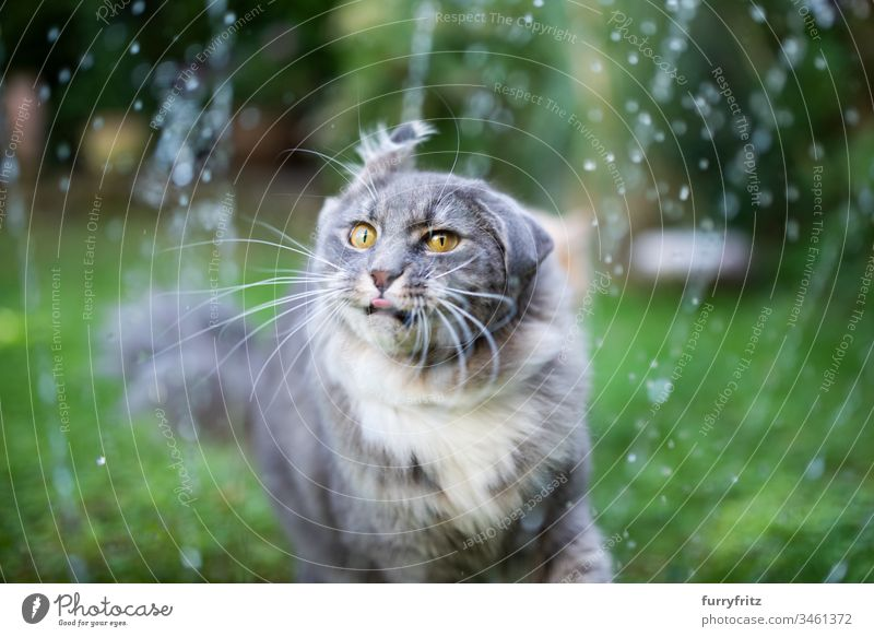 Maine Coon cat gets wet and shakes its head Cat Cute Enchanting Beautiful feline Fluffy Pelt purebred cat pets Longhaired cat White blue blotched One animal