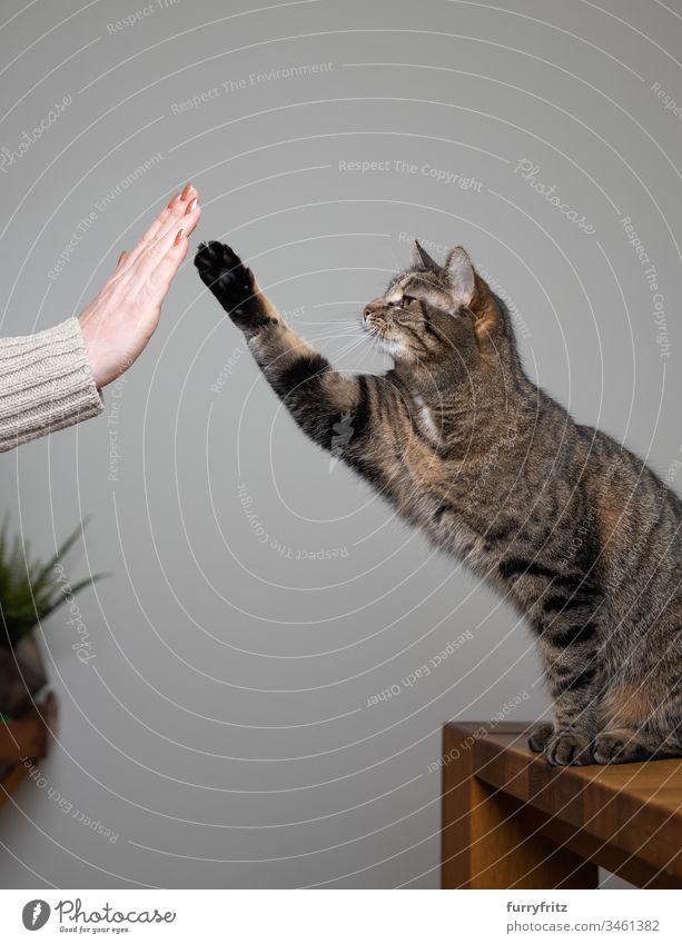 Cat trained with cat owner Give paw pet owners human hand Clicker Training high five lifting paw animal behavior Curiosity Study workout Arms raised Movement
