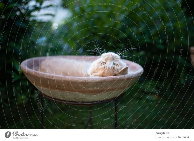 Maine Coon cat relaxes and lies in a flower pot in the garden animal behavior Comfortable Curiosity enjoyment Funny sloth lateral monitoring Relaxation Resting