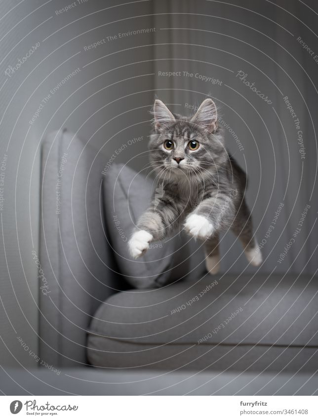 blue tabby Maine Coon kitten jumps over the sofa and flies in the air Flying Kitten jumping blue blotched Air catching chasing Couch Cushion Cute To fall swift