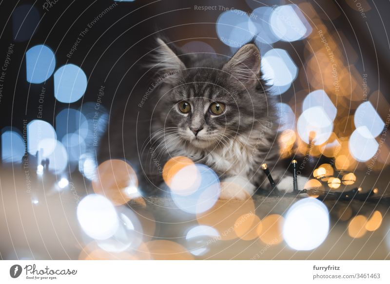 blue tabby Maine Coon kittens surrounded by fairy lights Bokeh 12 weeks 2-5 months Enchanting Adventure Baby Beautiful blue blotched bokeh bokeh lights Cat