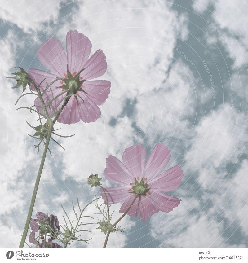 radar station Flower Cosmea Cosmea flower blossoms wax purple Bright Sky Clouds Worm's-eye view Spring Close-up Garden Meadow Nature Plant Exterior shot