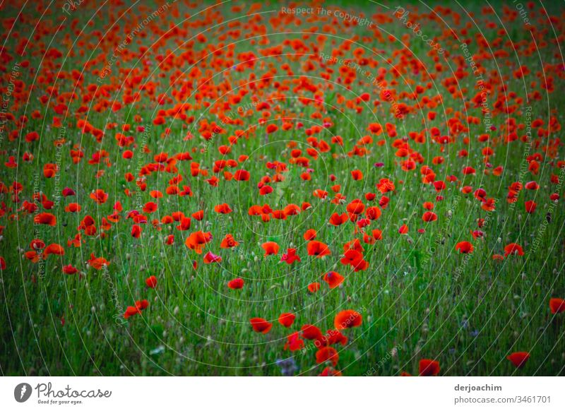 A green flower meadow with poppies. Poppies without end. Poppy Flower Red Blossom Summer Plant Nature Poppy blossom Exterior shot Colour photo Field Meadow