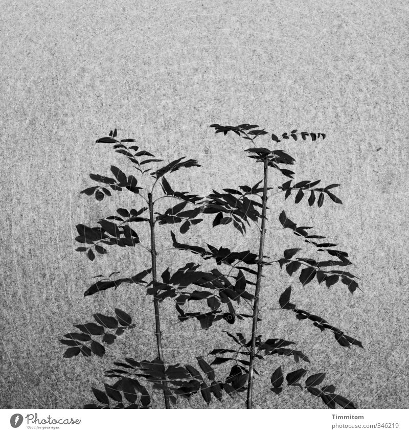 Shadow leaves [CHAMANSÜLZ 2011] Plant Leaf Wall (barrier) Wall (building) Growth Esthetic Simple Gray Black Contentment Black & white photo Graphic