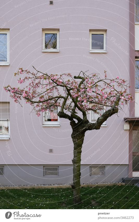 Tree in front of a house House (Residential Structure) Rose Tone pastel Garden Front garden Town Life pink Plant wax dwell Nature Summer Blossom blossom Meadow