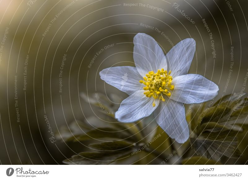 delicate flower in white-yellow, anemone macro Nature Plant Spring Blossom Colour photo Blossoming Exterior shot Flower Shallow depth of field Growth Green
