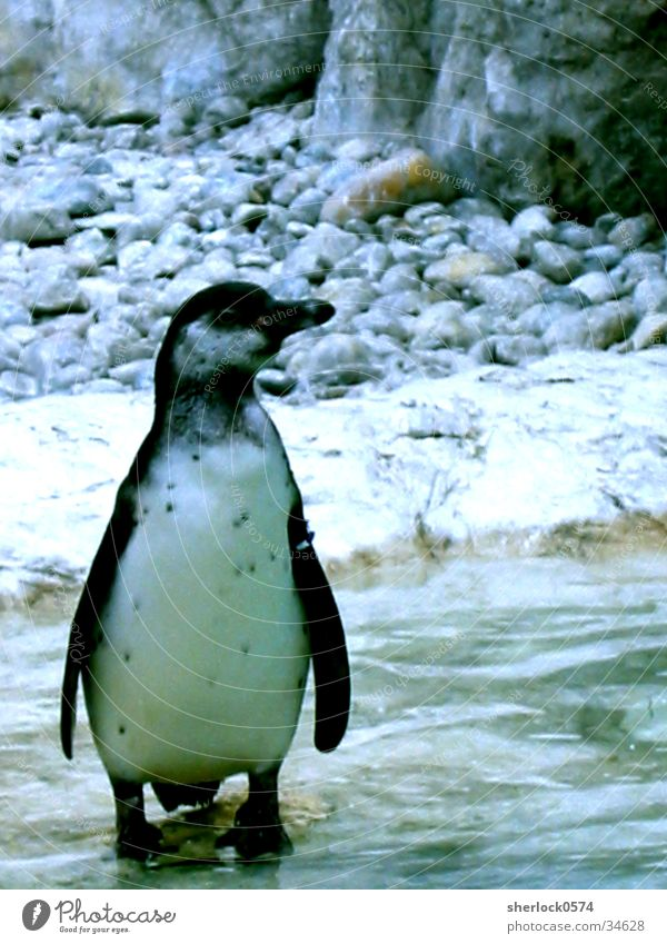 penguin/1 Penguin Animal Cold Zoo Schönbrunn palace Loneliness Ice Water