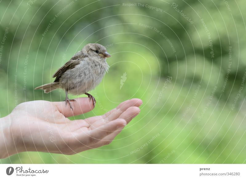 Trust 1 Feminine Hand Environment Nature Animal Wild animal Bird Gray Green Sparrow Sit Colour photo Exterior shot Copy Space right Copy Space top Day