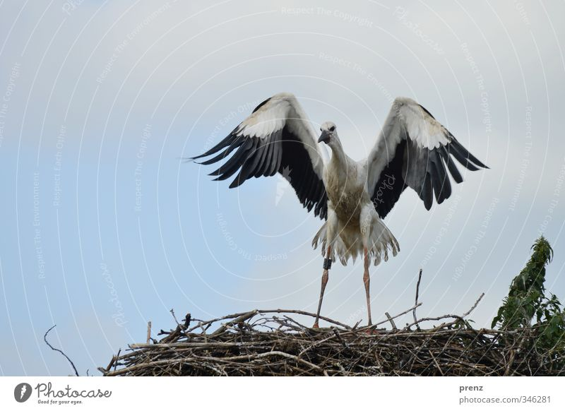 flight attempt Environment Nature Animal Summer Wild animal Bird 1 Blue Black White Stork Eyrie Nest Judder Baby animal Colour photo Exterior shot Deserted