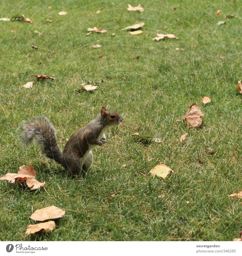 Dead leaves and a curious squirrel. Nature Earth Autumn Grass Leaf Garden Park Meadow Animal Wild animal Squirrel 1 Observe Stand Wait Brash Small Funny