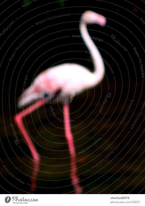 "Flamingo ""unsharp"" Zoo Pink Black Animal Bird Blur Water Pole"