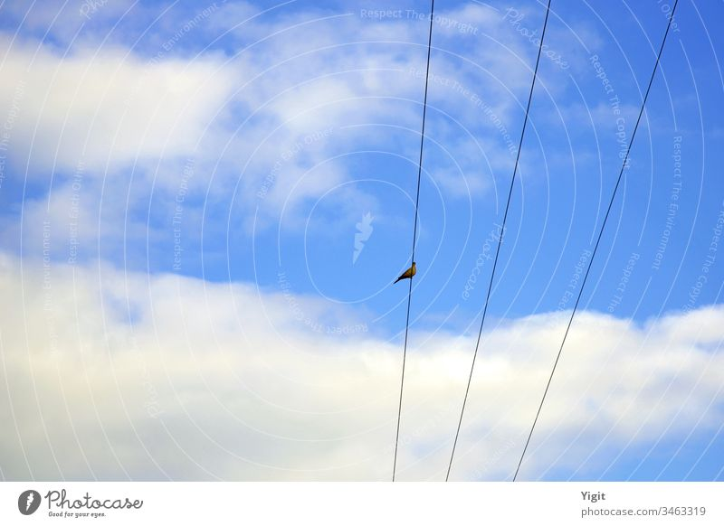 Collardove (Streptopelia decaocto ) Resting on the Electric Wire Bird Cable Sky Blue Clouds Day Copy Space Left Copy Space Top Animal Wild Watching Freedom
