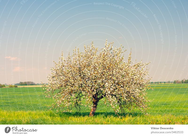 Lonely flowering apple tree in the field background food fruit summer nature sun spring landscape sky rural green blue solitude blooming meadow lonely flowers